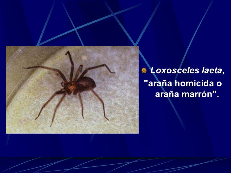 araña homicida o araña marrón .