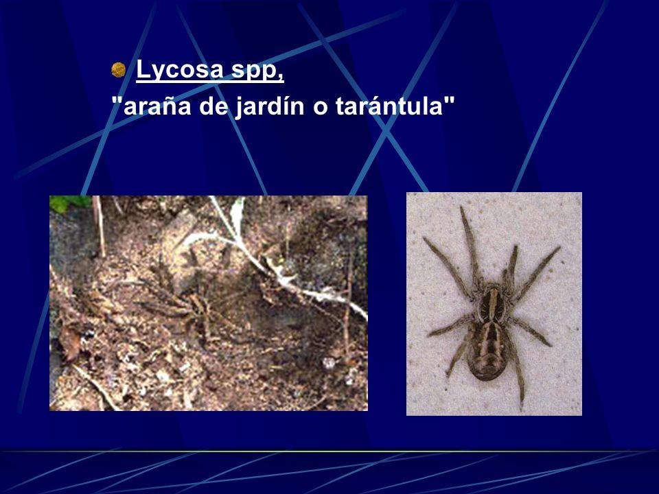 Lycosa spp, araña de jardín o tarántula