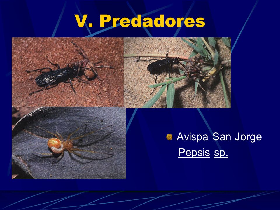 V. Predadores Avispa San Jorge Pepsis sp.