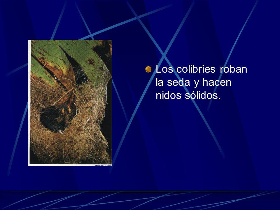 Los colibríes roban la seda y hacen nidos sólidos.