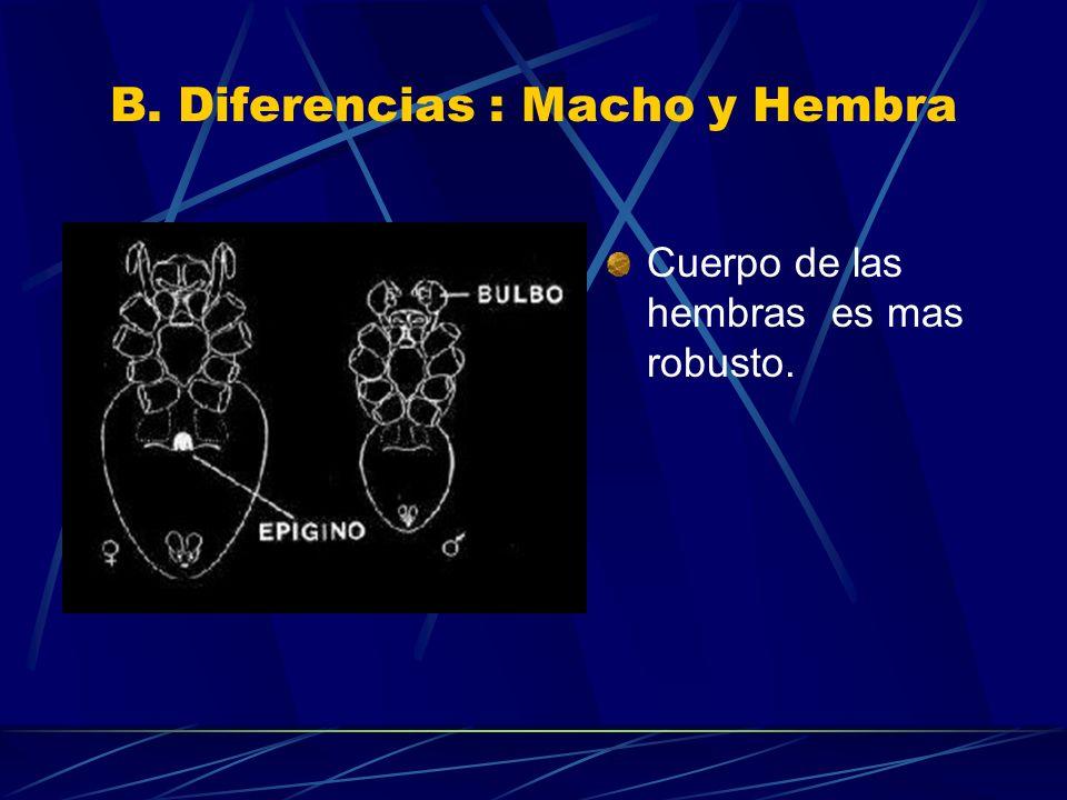 B. Diferencias : Macho y Hembra