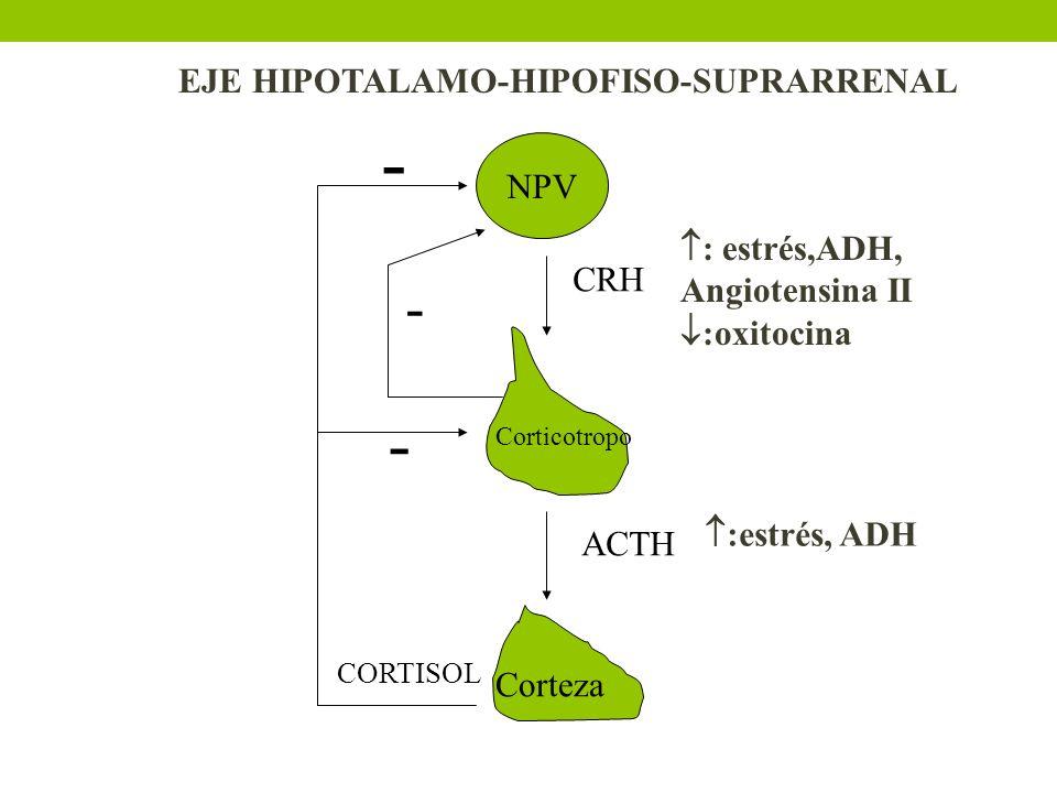 - - - EJE HIPOTALAMO-HIPOFISO-SUPRARRENAL NPV : estrés,ADH,