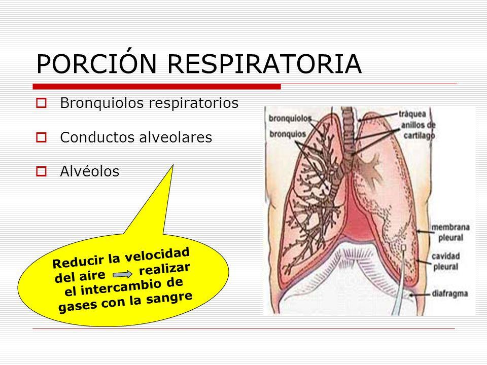 PORCIÓN RESPIRATORIA Bronquiolos respiratorios Conductos alveolares