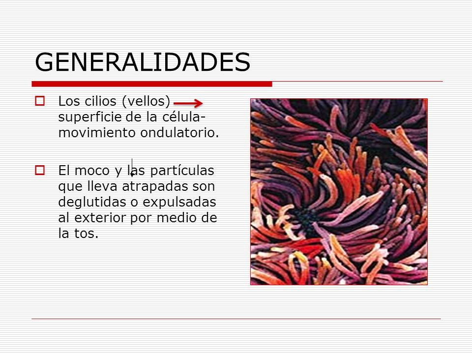 GENERALIDADES Los cilios (vellos) superficie de la célula- movimiento ondulatorio.