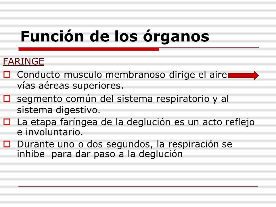 Función de los órganos FARINGE