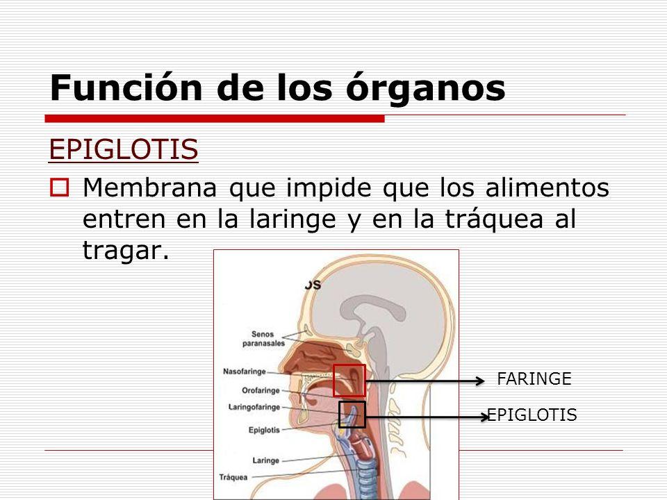 Función de los órganos EPIGLOTIS