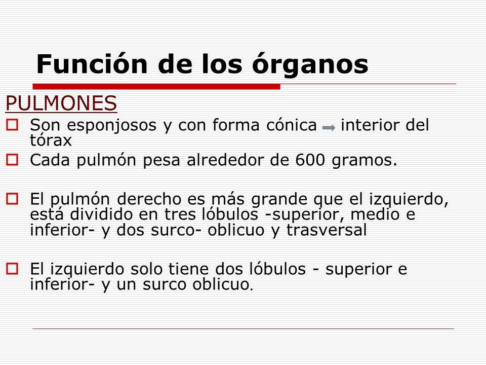Función de los órganos PULMONES