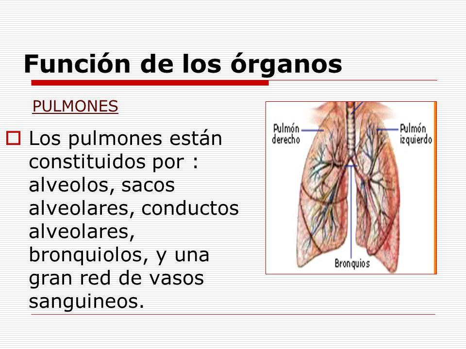 Función de los órganos PULMONES.