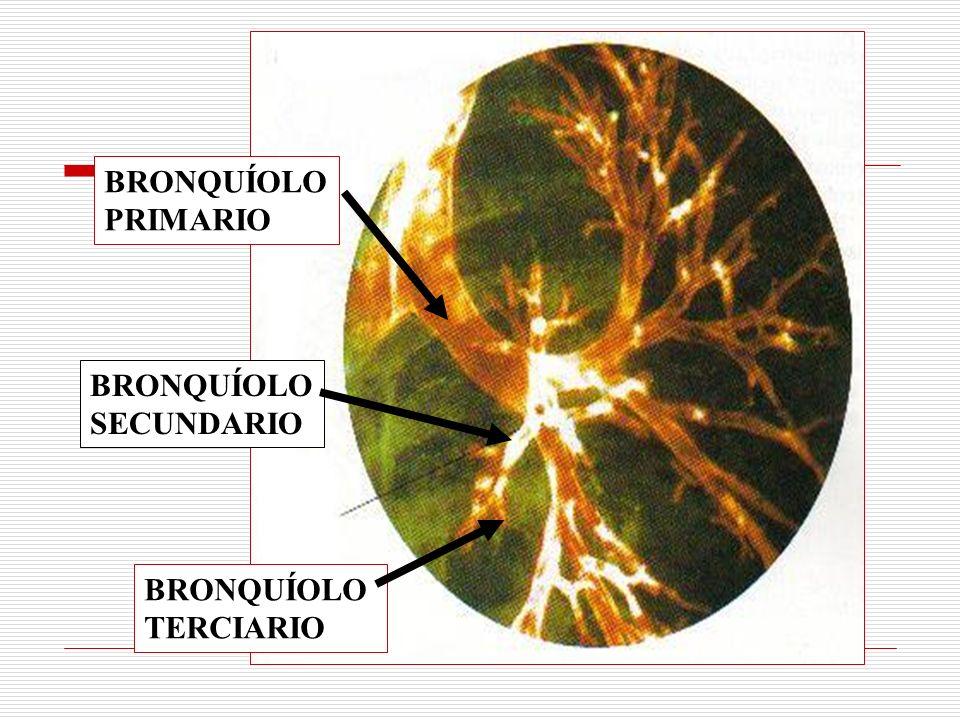 BRONQUÍOLO PRIMARIO BRONQUÍOLO SECUNDARIO BRONQUÍOLO TERCIARIO