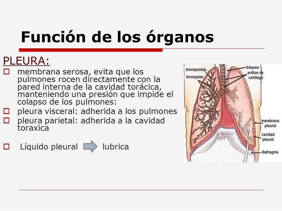 Función de los órganos PLEURA: