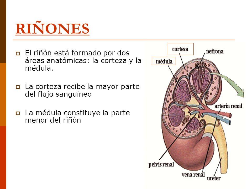 RIÑONES El riñón está formado por dos áreas anatómicas: la corteza y la médula. La corteza recibe la mayor parte del flujo sanguíneo.