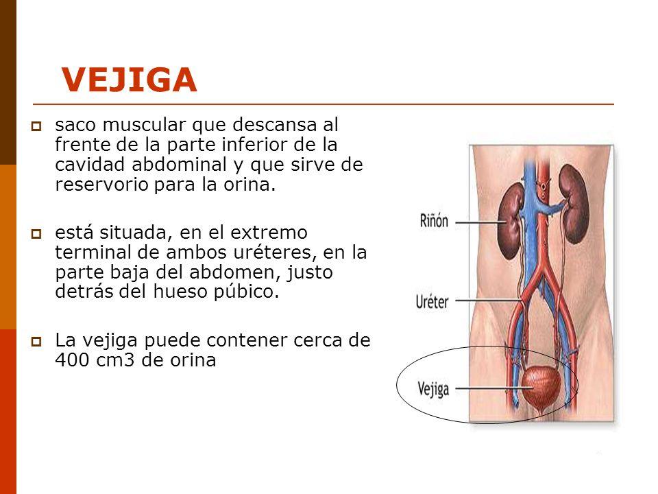 VEJIGA saco muscular que descansa al frente de la parte inferior de la cavidad abdominal y que sirve de reservorio para la orina.