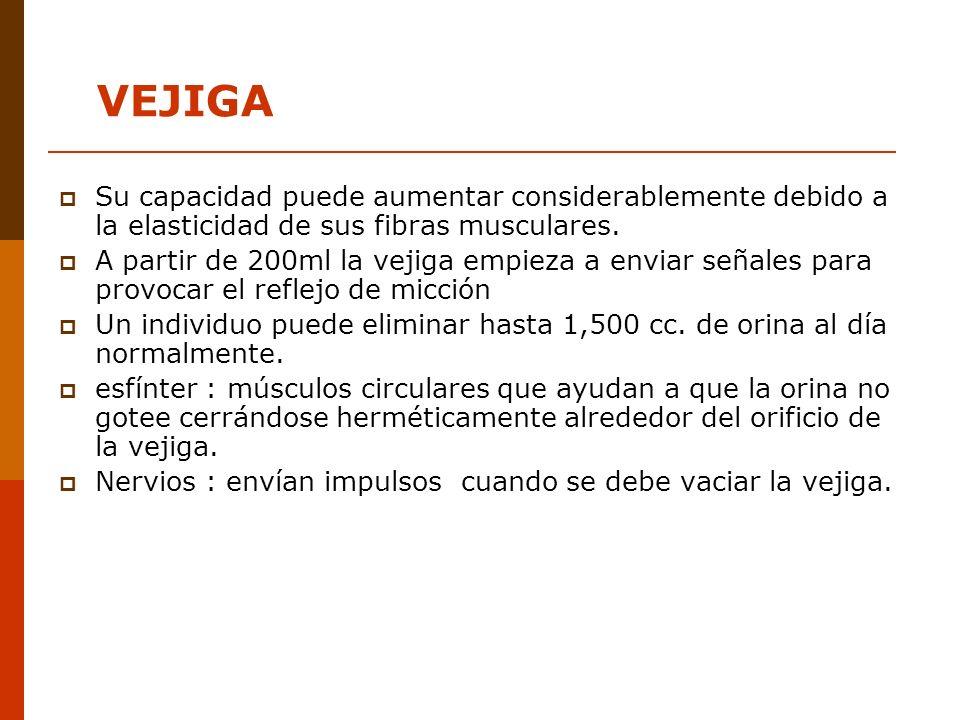 VEJIGASu capacidad puede aumentar considerablemente debido a la elasticidad de sus fibras musculares.