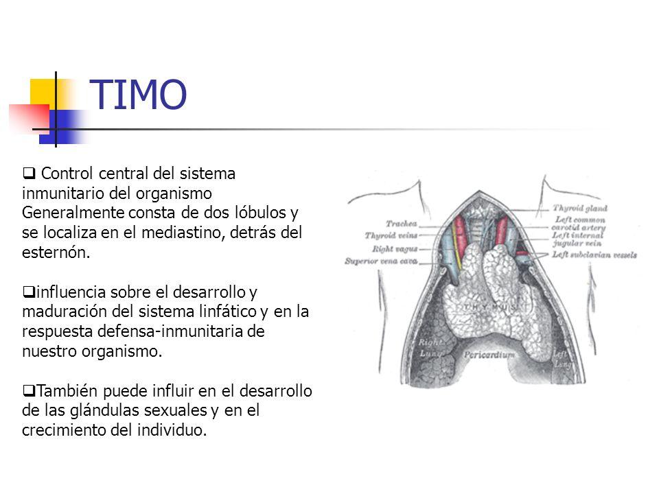 TIMO Control central del sistema inmunitario del organismo Generalmente consta de dos lóbulos y se localiza en el mediastino, detrás del esternón.