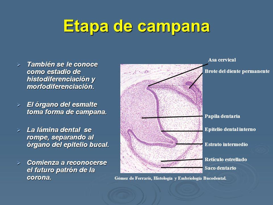 Etapa de campanaTambién se le conoce como estadio de histodiferenciación y morfodiferenciación. El órgano del esmalte toma forma de campana.