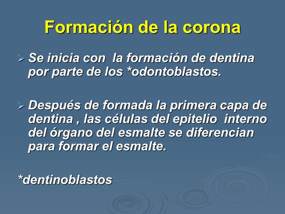Formación de la coronaSe inicia con la formación de dentina por parte de los *odontoblastos.