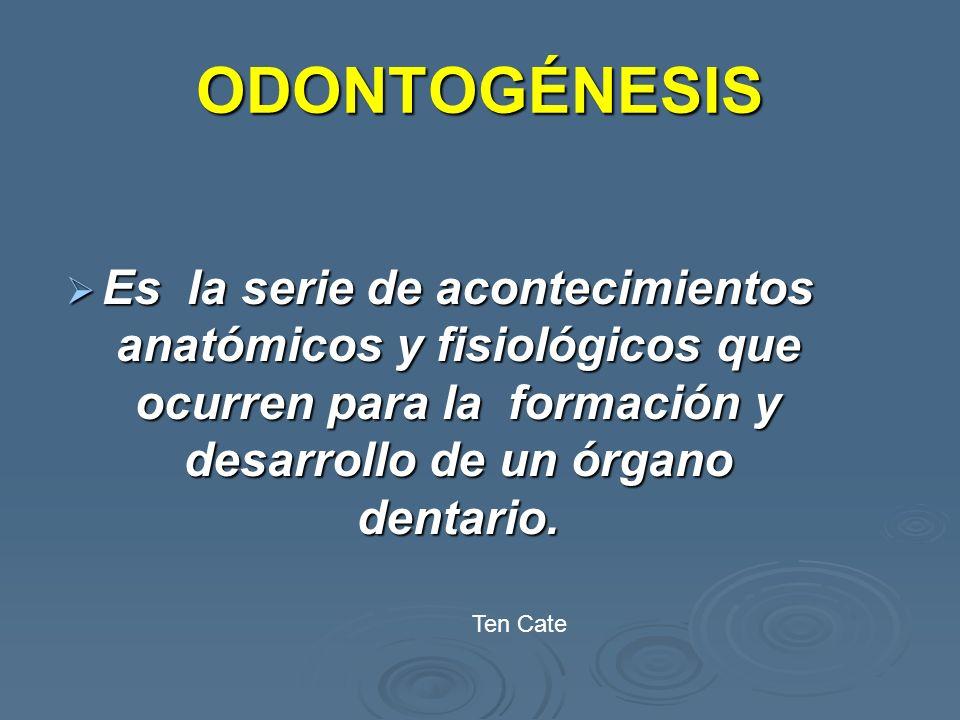 ODONTOGÉNESIS Es la serie de acontecimientos anatómicos y fisiológicos que ocurren para la formación y desarrollo de un órgano dentario.