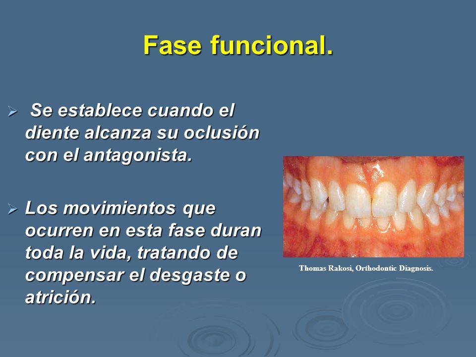Fase funcional.Se establece cuando el diente alcanza su oclusión con el antagonista.