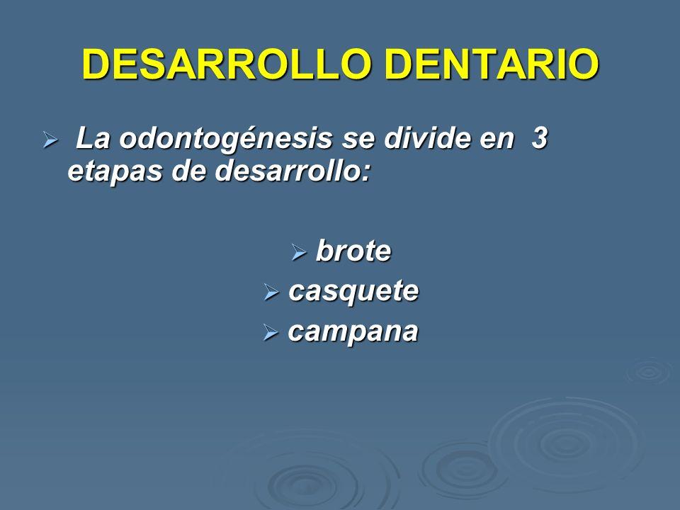 DESARROLLO DENTARIO La odontogénesis se divide en 3 etapas de desarrollo: brote casquete campana