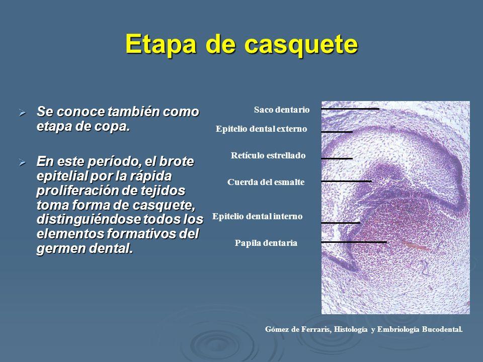 Excelente Ilustrada Histología Embriología Dental Y La Anatomía ...