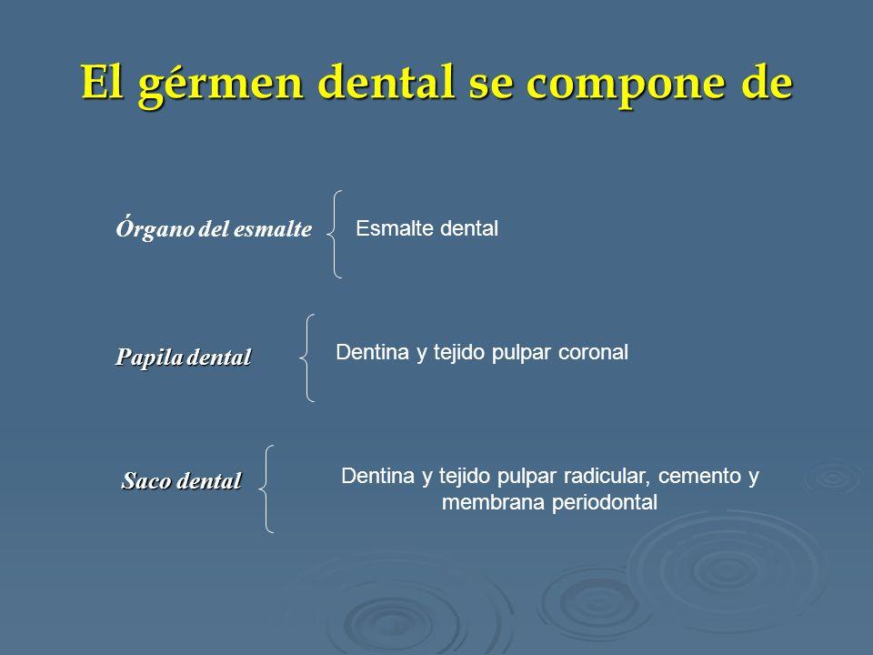 El gérmen dental se compone de