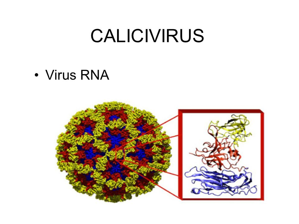 CALICIVIRUS Virus RNA