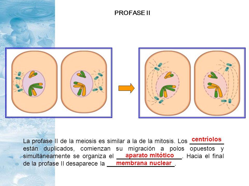 PROFASE II centríolos.