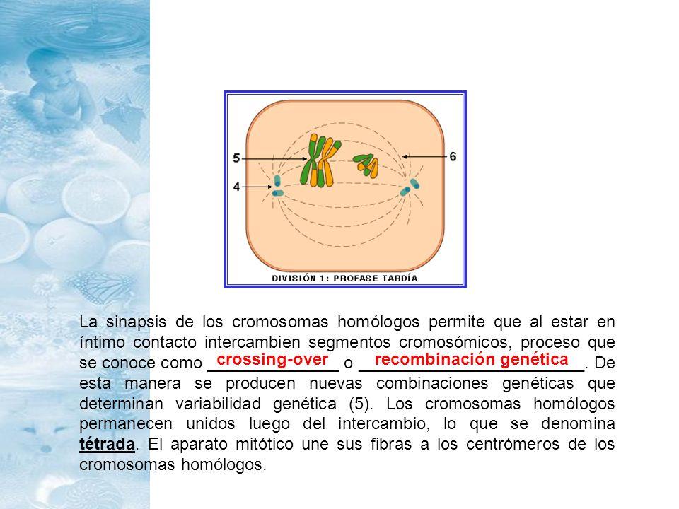 La sinapsis de los cromosomas homólogos permite que al estar en íntimo contacto intercambien segmentos cromosómicos, proceso que se conoce como ______________ o ________________________. De esta manera se producen nuevas combinaciones genéticas que determinan variabilidad genética (5). Los cromosomas homólogos permanecen unidos luego del intercambio, lo que se denomina tétrada. El aparato mitótico une sus fibras a los centrómeros de los cromosomas homólogos.