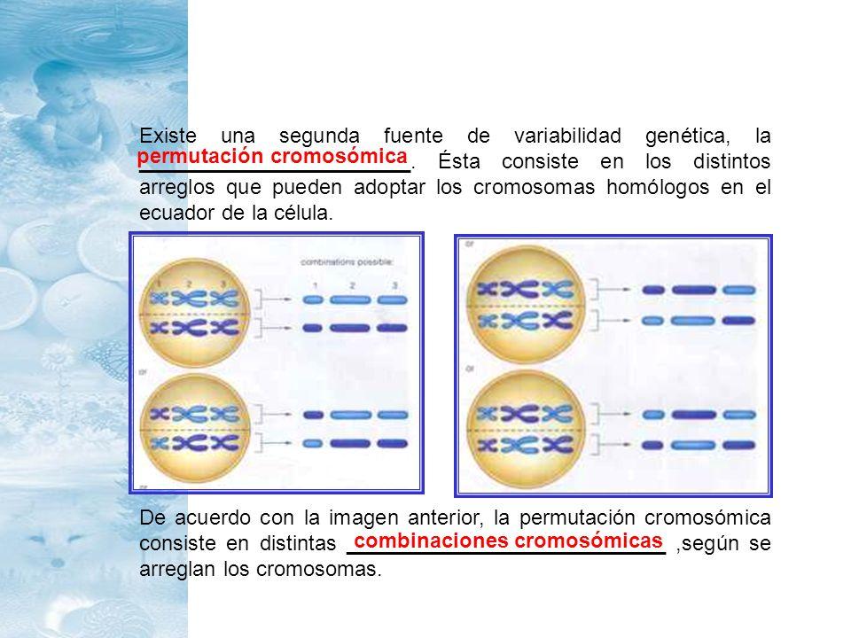Existe una segunda fuente de variabilidad genética, la _______________________. Ésta consiste en los distintos arreglos que pueden adoptar los cromosomas homólogos en el ecuador de la célula.