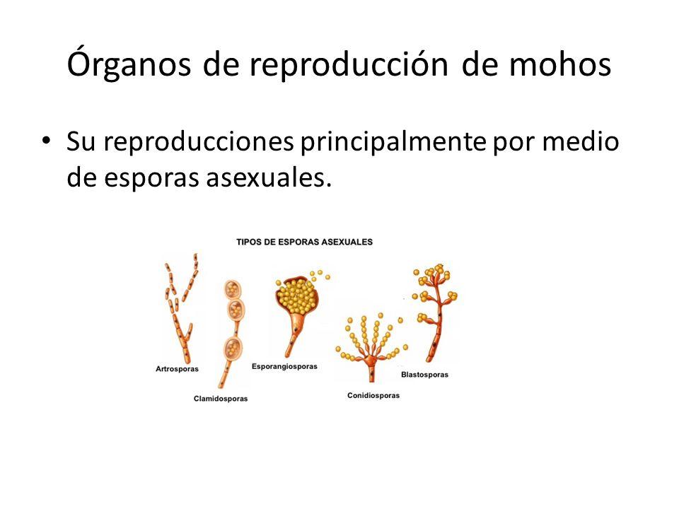 Órganos de reproducción de mohos