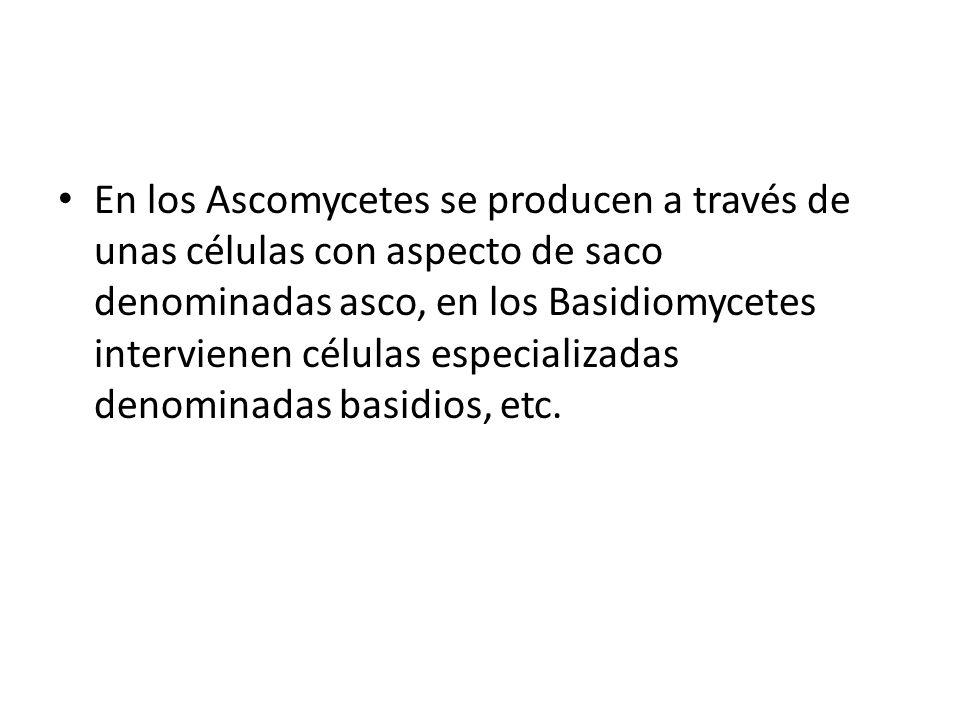 En los Ascomycetes se producen a través de unas células con aspecto de saco denominadas asco, en los Basidiomycetes intervienen células especializadas denominadas basidios, etc.