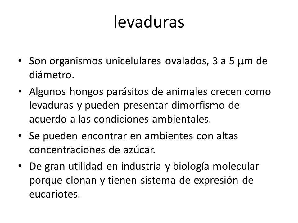 levaduras Son organismos unicelulares ovalados, 3 a 5 mm de diámetro.