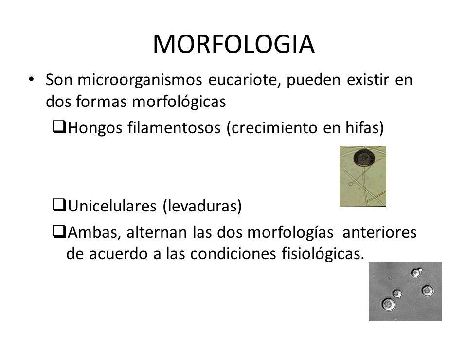 MORFOLOGIA Son microorganismos eucariote, pueden existir en dos formas morfológicas. Hongos filamentosos (crecimiento en hifas)