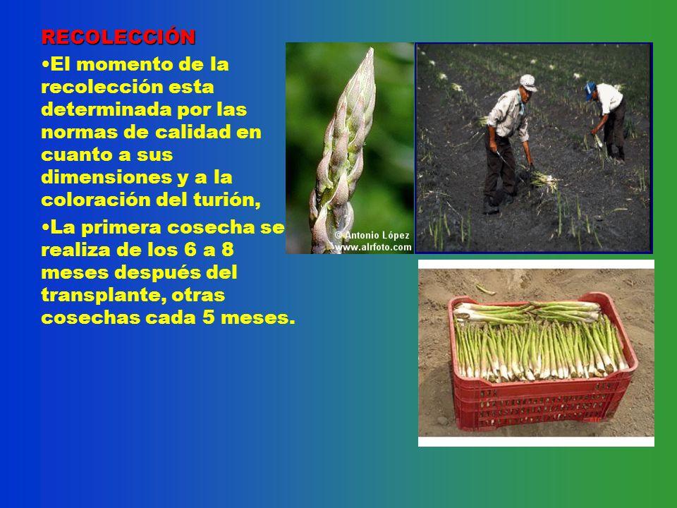 Dr antonio navarro euribe ppt video online descargar for En cuanto tiempo se cosecha la tilapia