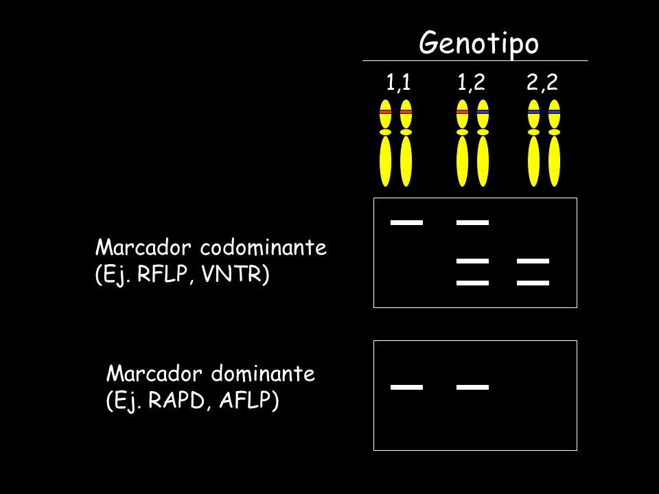Genotipo 1,1 1,2 2,2 Marcador codominante (Ej. RFLP, VNTR)