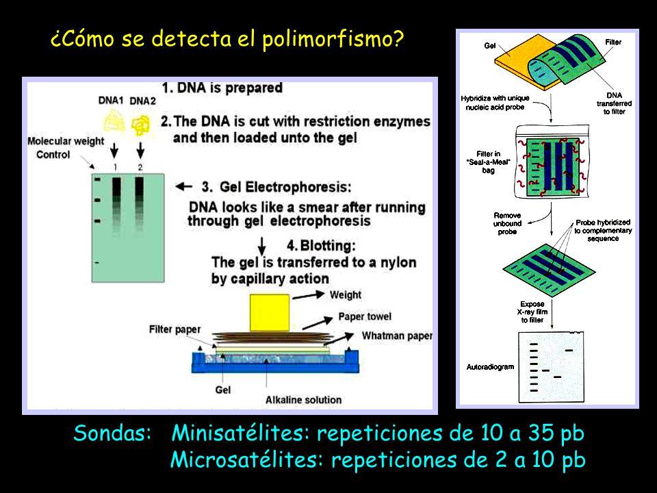 ¿Cómo se detecta el polimorfismo