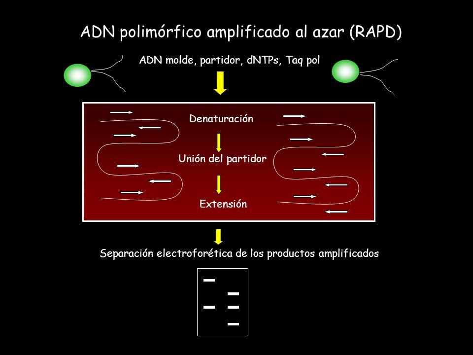 ADN polimórfico amplificado al azar (RAPD)