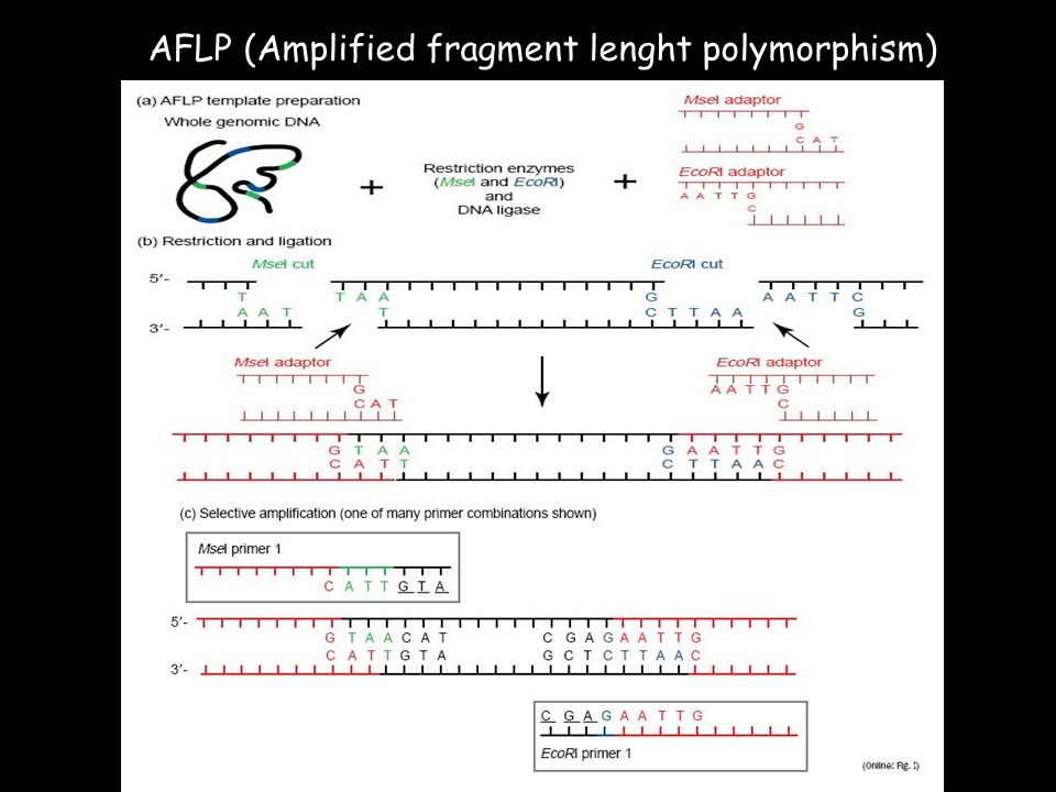 AFLP (Amplified fragment lenght polymorphism)