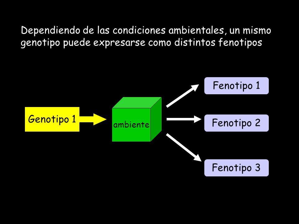 Dependiendo de las condiciones ambientales, un mismo genotipo puede expresarse como distintos fenotipos