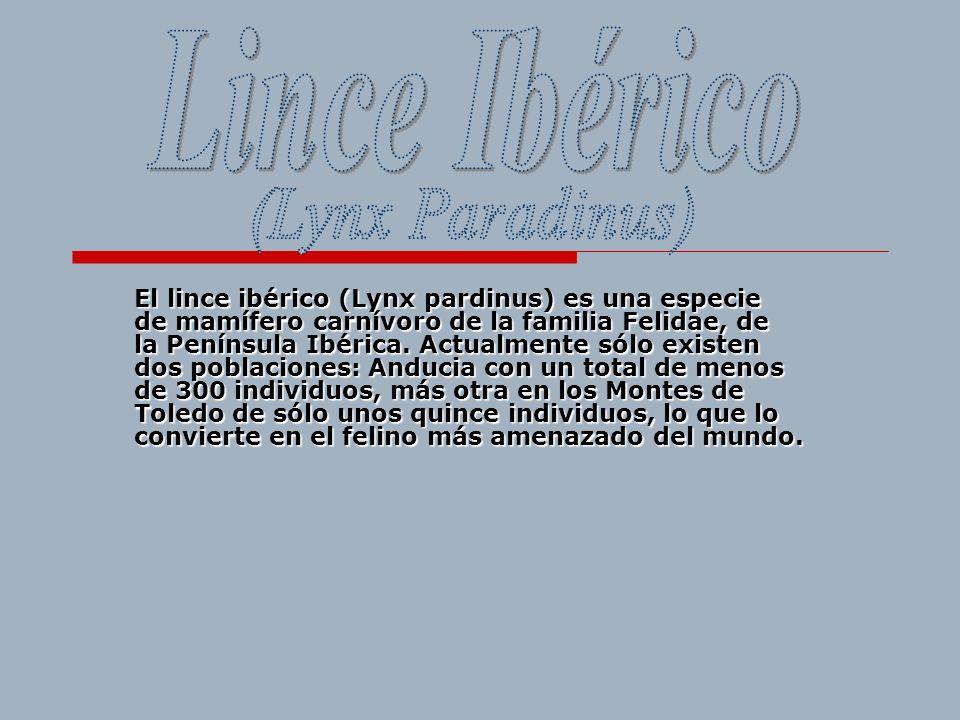 Lince Ibérico (Lynx Paradinus)