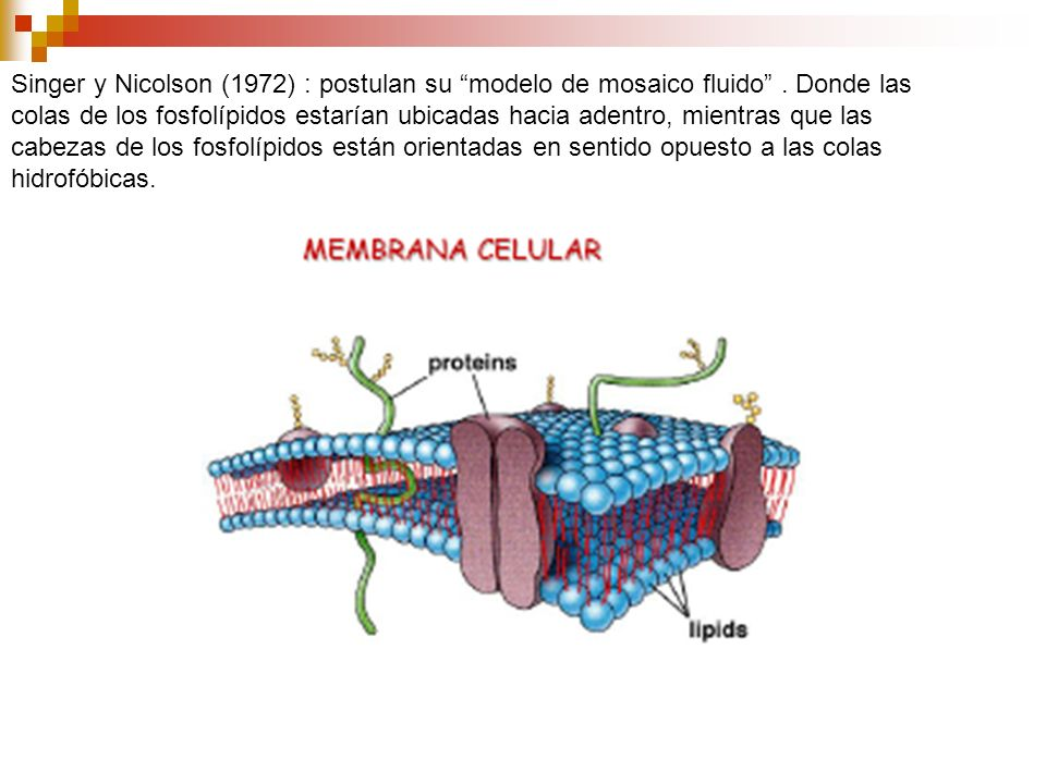 Singer y Nicolson (1972) : postulan su modelo de mosaico fluido