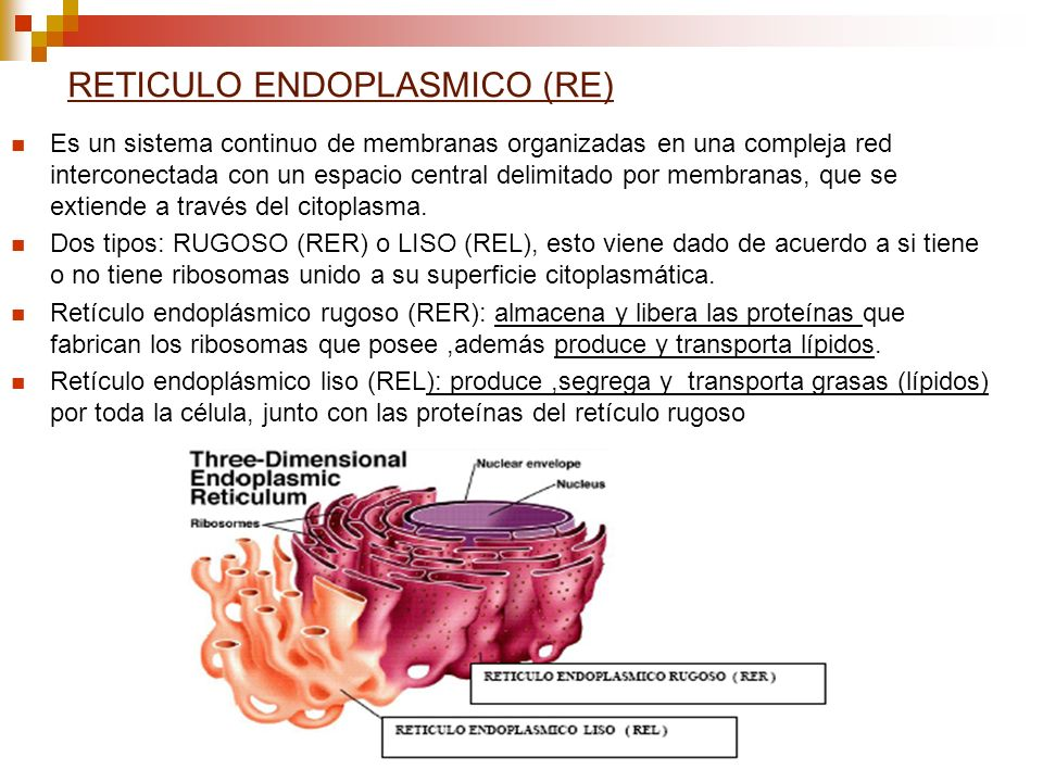 RETICULO ENDOPLASMICO (RE)