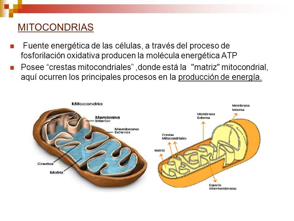 MITOCONDRIAS Fuente energética de las células, a través del proceso de fosforilación oxidativa producen la molécula energética ATP.