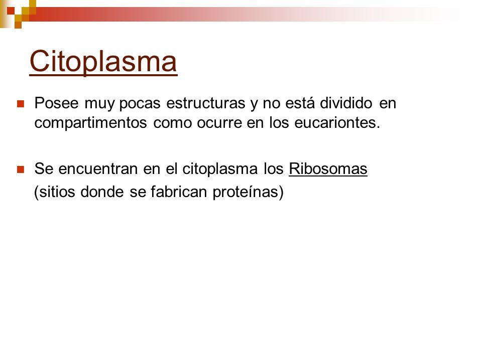 Citoplasma Posee muy pocas estructuras y no está dividido en compartimentos como ocurre en los eucariontes.