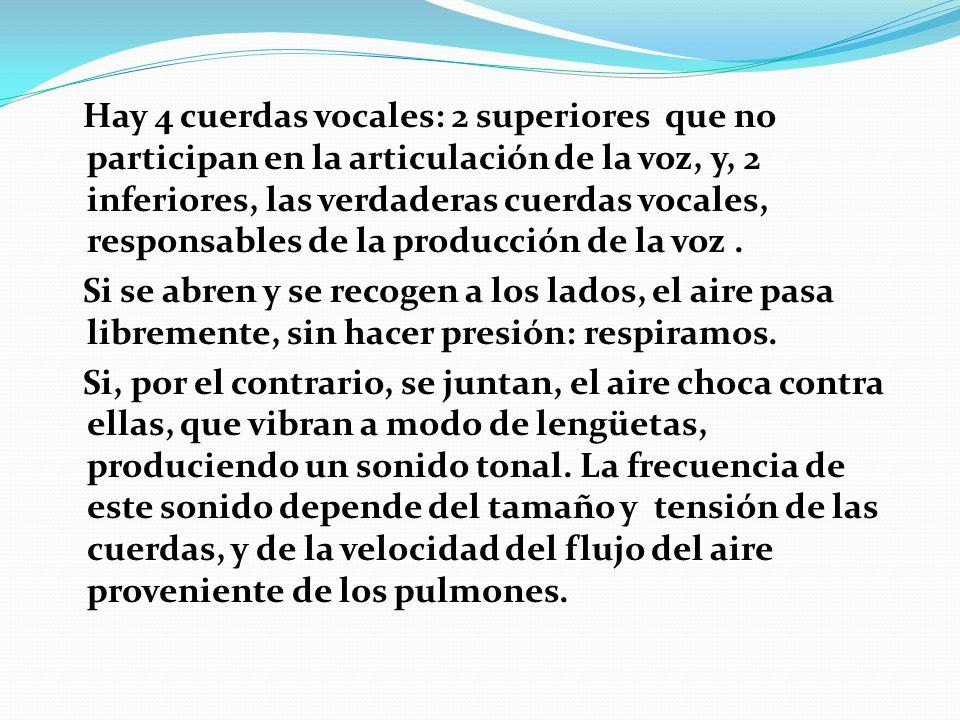 Hay 4 cuerdas vocales: 2 superiores que no participan en la articulación de la voz, y, 2 inferiores, las verdaderas cuerdas vocales, responsables de la producción de la voz .