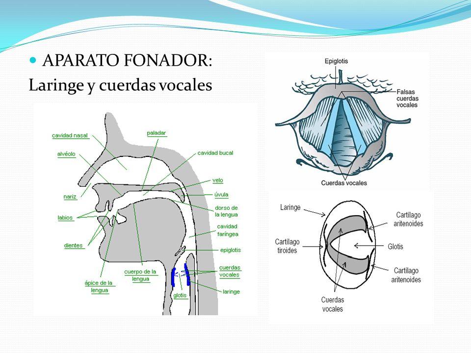 APARATO FONADOR: Laringe y cuerdas vocales