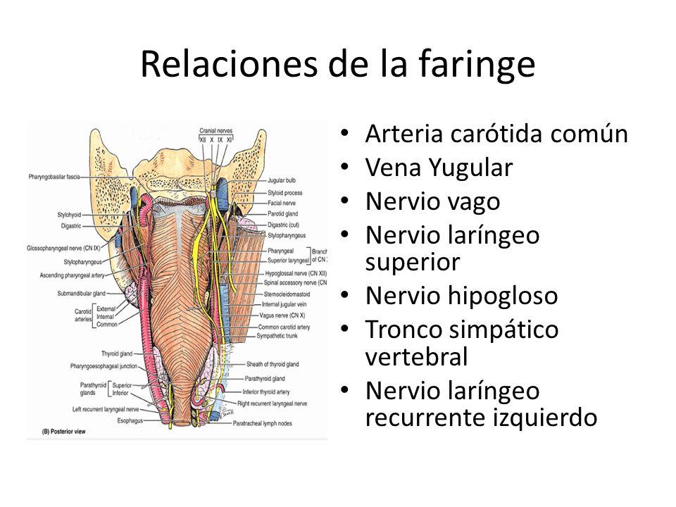 Relaciones de la faringe