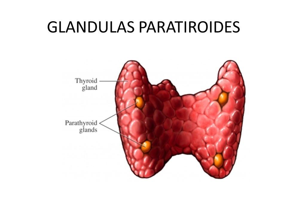 Excelente Glándulas Paratiroides Cresta - Anatomía de Las ...