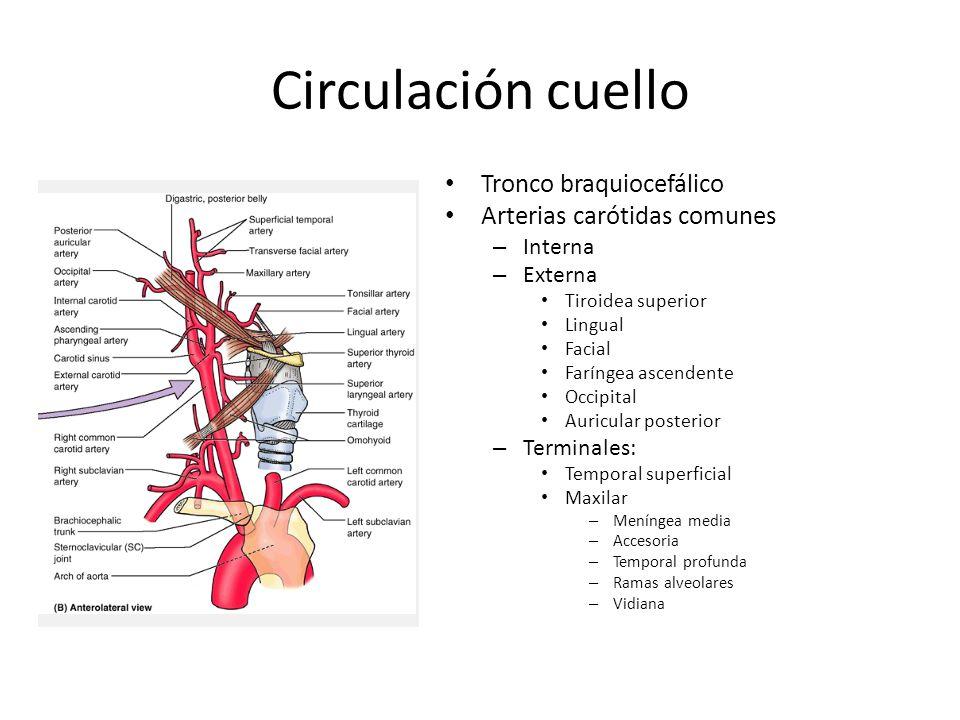 Circulación cuello Tronco braquiocefálico Arterias carótidas comunes