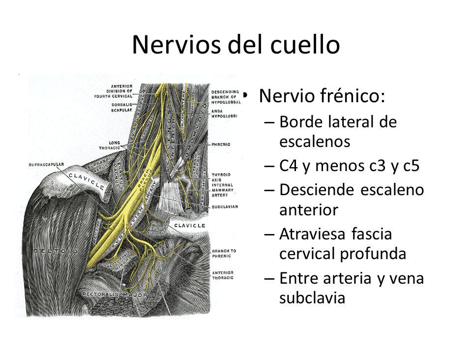 Nervios del cuello Nervio frénico: Borde lateral de escalenos